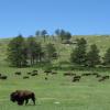 bison-600x312-61d15494e64b9e1ca57a9a10e7257aee566e2efe